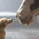 budweiser_puppy_love